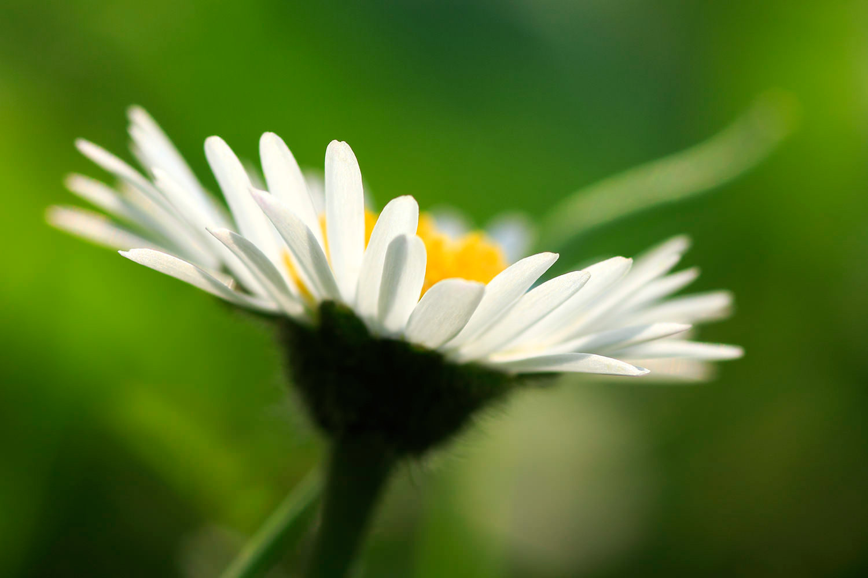 bildgabe-gaenseblume
