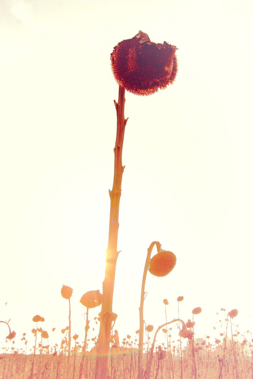 bildgabe-sonnenblume